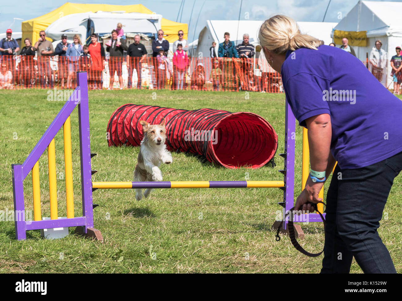 a terrier type dog jumps a hurdle at a dog agility, competition. - Stock Image