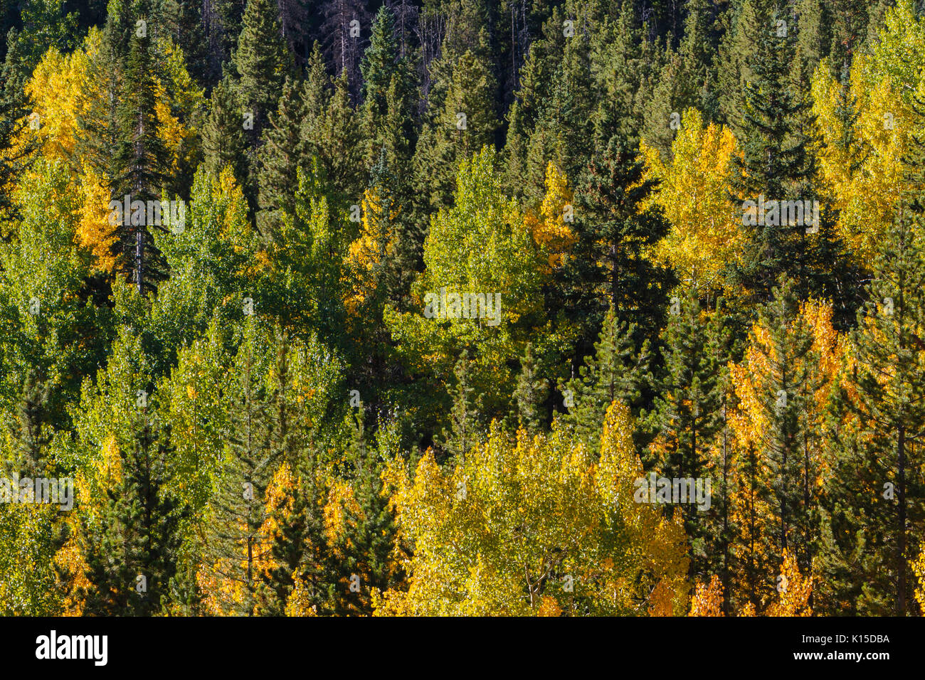 A mix of colorful conifers and Aspen trees in autumn along Guanella Pass Road.  Georgetown, Colorado. - Stock Image