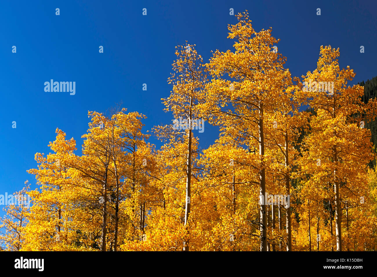A stand of Aspen trees along Guanella Pass Road display their fall color.  Georgetown, Colorado. - Stock Image