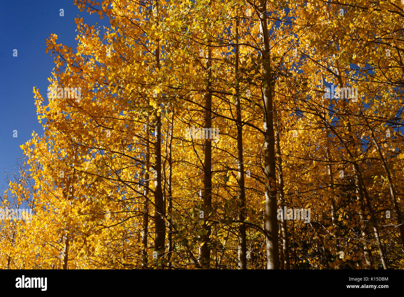 A stand of Aspen trees along Guanella Pass Road produce a fall color splash with their canopy.  Georgetown, Colorado. - Stock Image