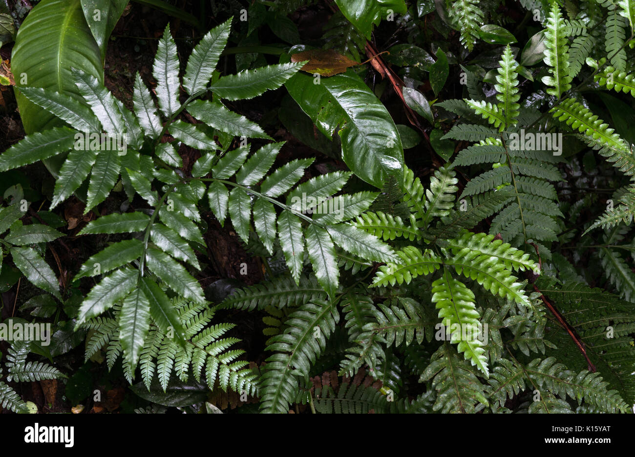 Varied ferns growing on the undergrowth of the Atlantic Rainforest - Stock Image