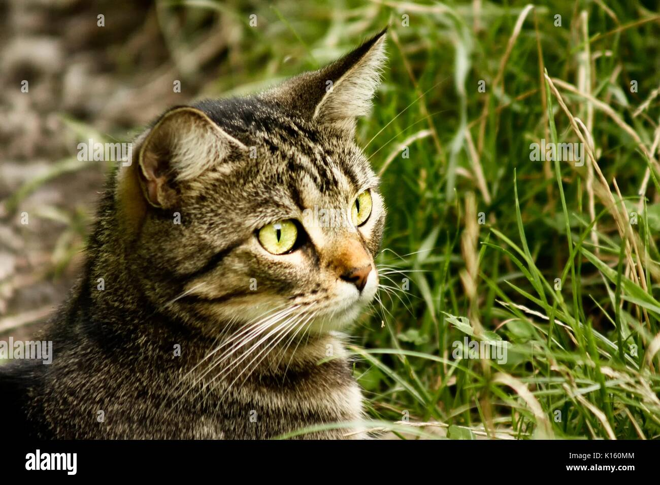 Close up portrait of an isolated female tabby cat outside - Stock Image