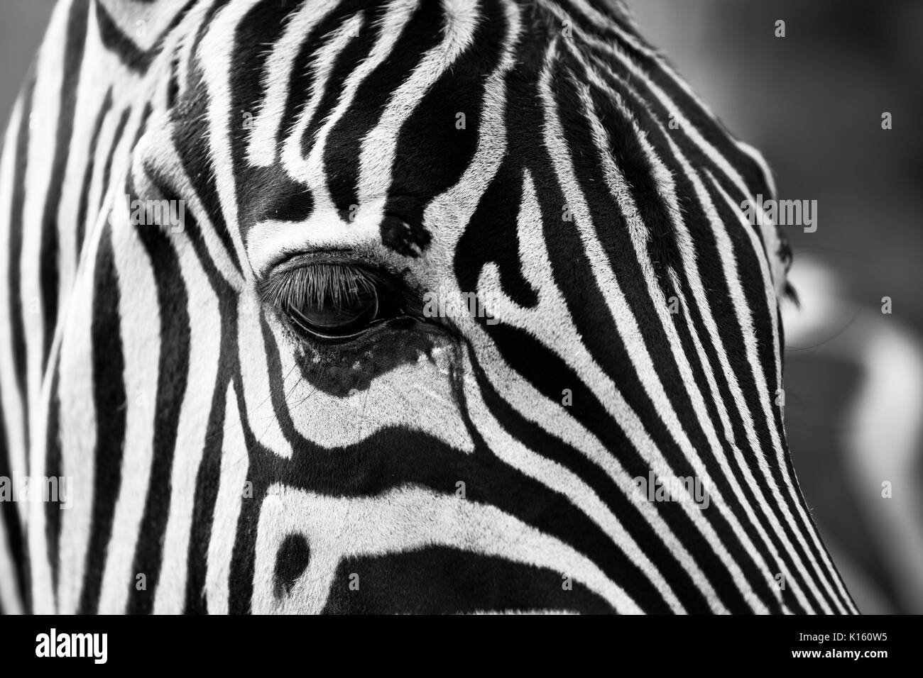 Close up of a zebras eye - Stock Image