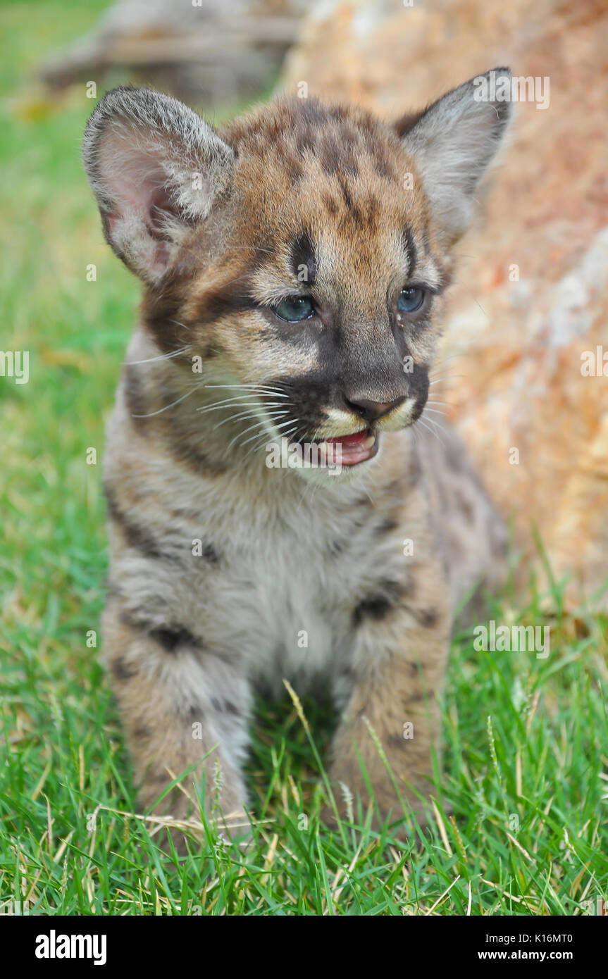 Baby cougars are born after about 91 days of gestation. - Stock Image