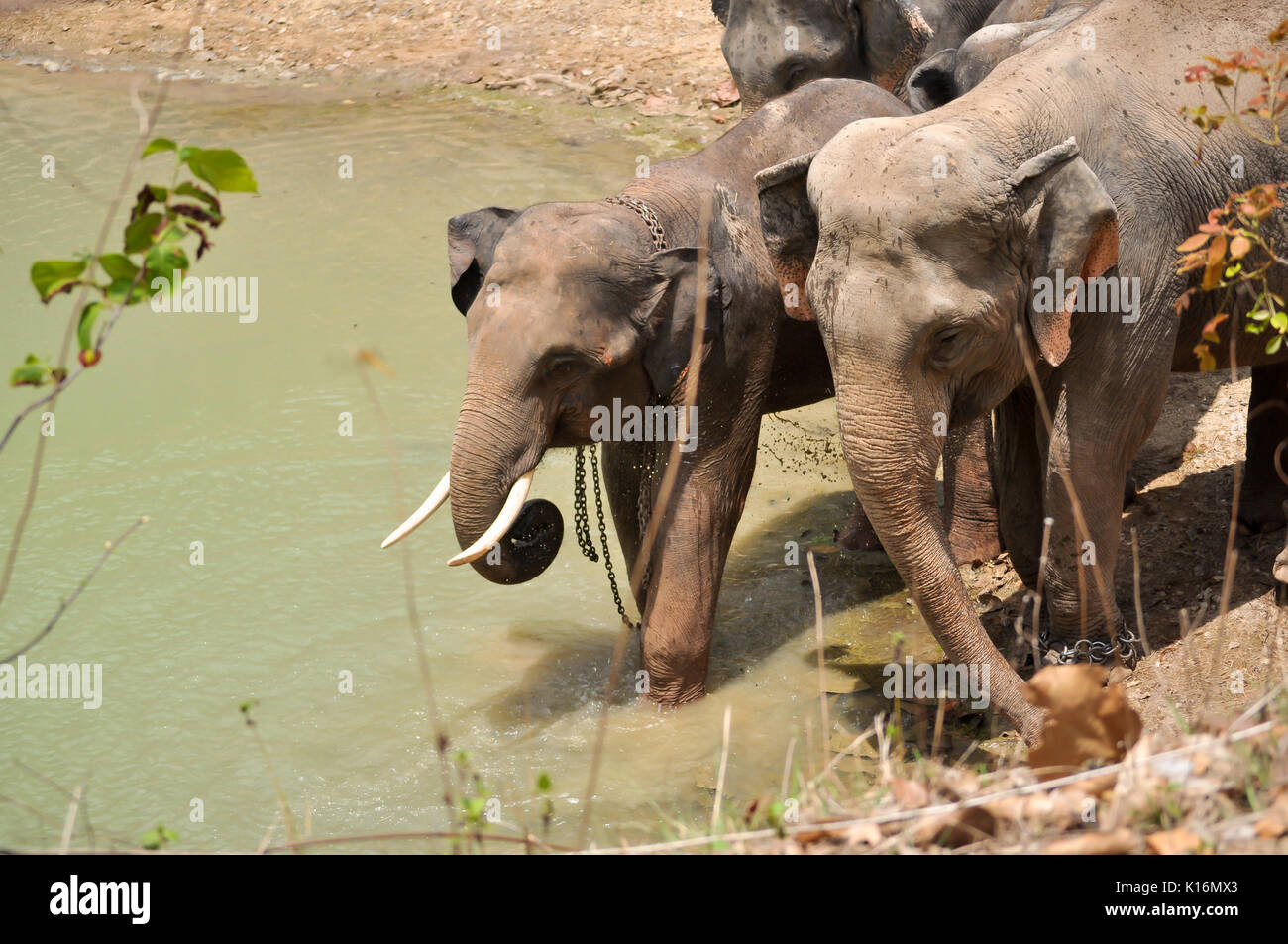The elephant trunk can hold about four litres of water. Elephants will playfully wrestle with each other using their trunks, but generally use their t - Stock Image