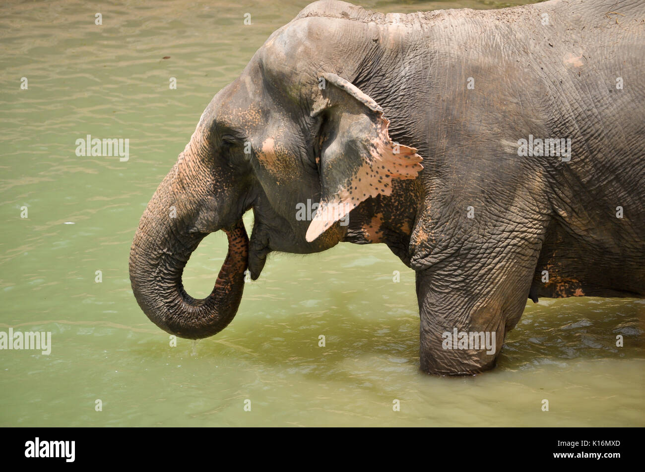 The trunk can hold about four litres of water. Elephants will playfully wrestle with each other using their trunks, but generally use their trunks onl - Stock Image