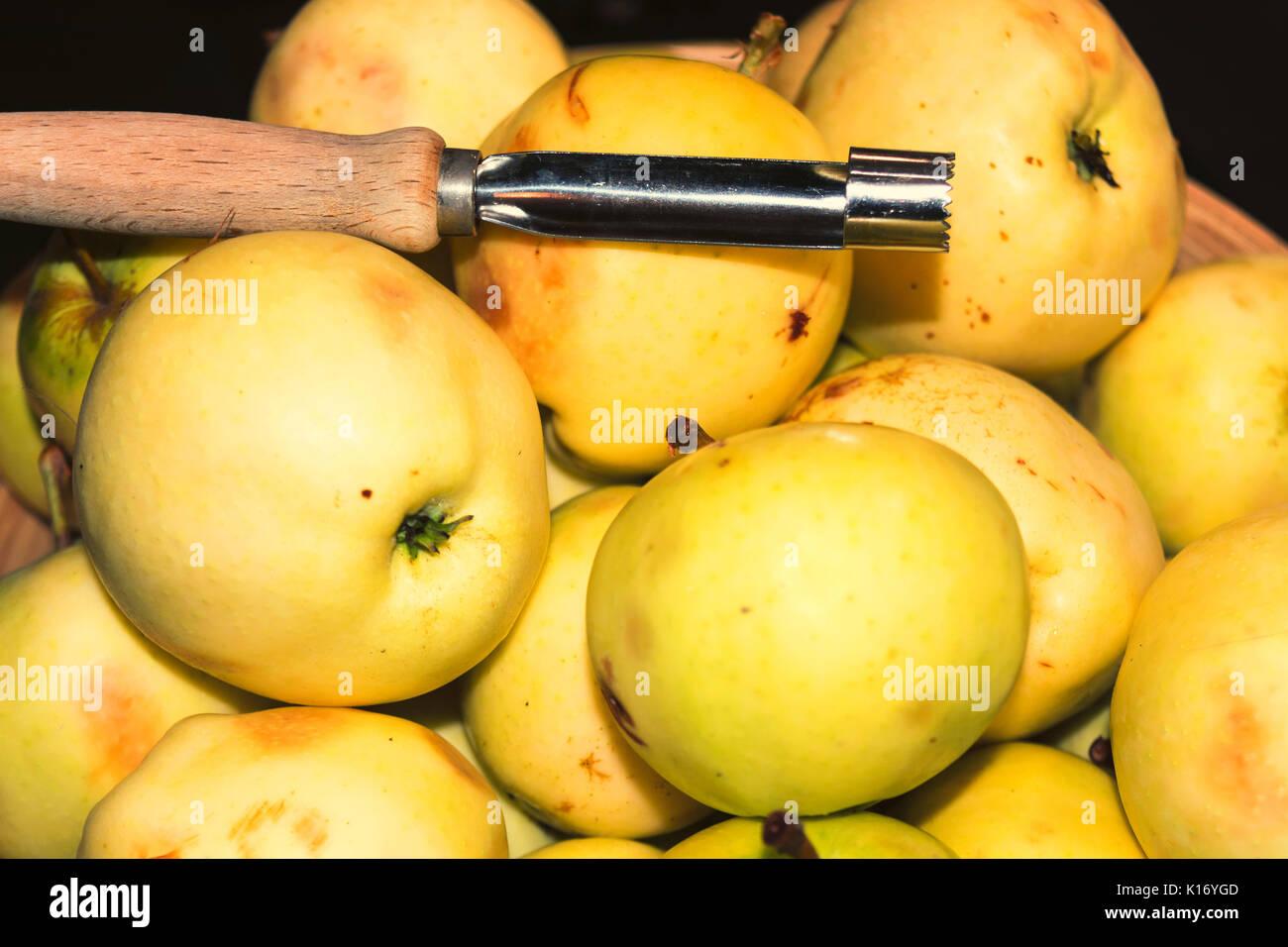 Natural wild apples grown. European wild apple, malus sylvestris. Stock Photo