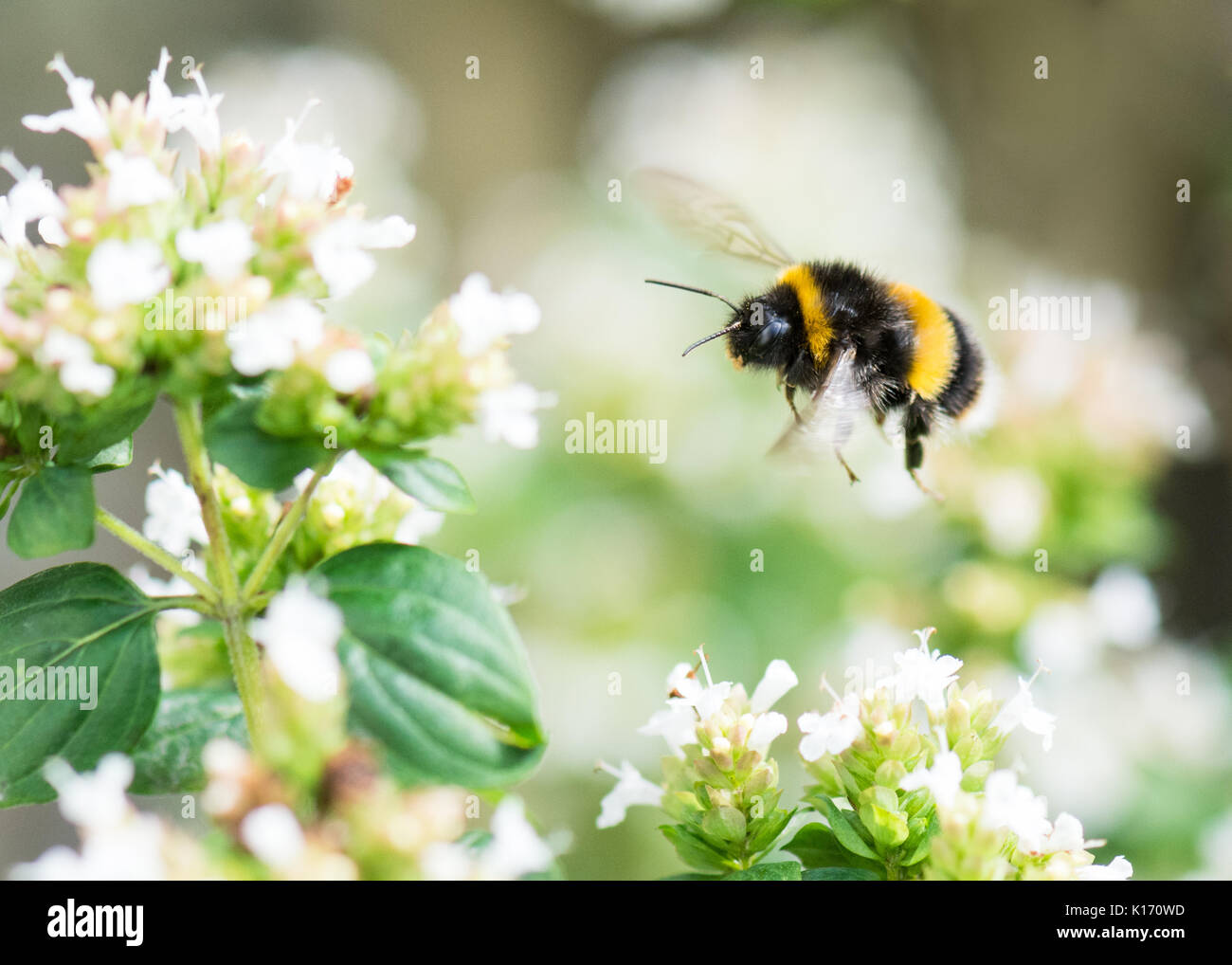 Buff tailed bumblebee - Bombus terrestris - flying towards white marjoram flowers - UK - Stock Image