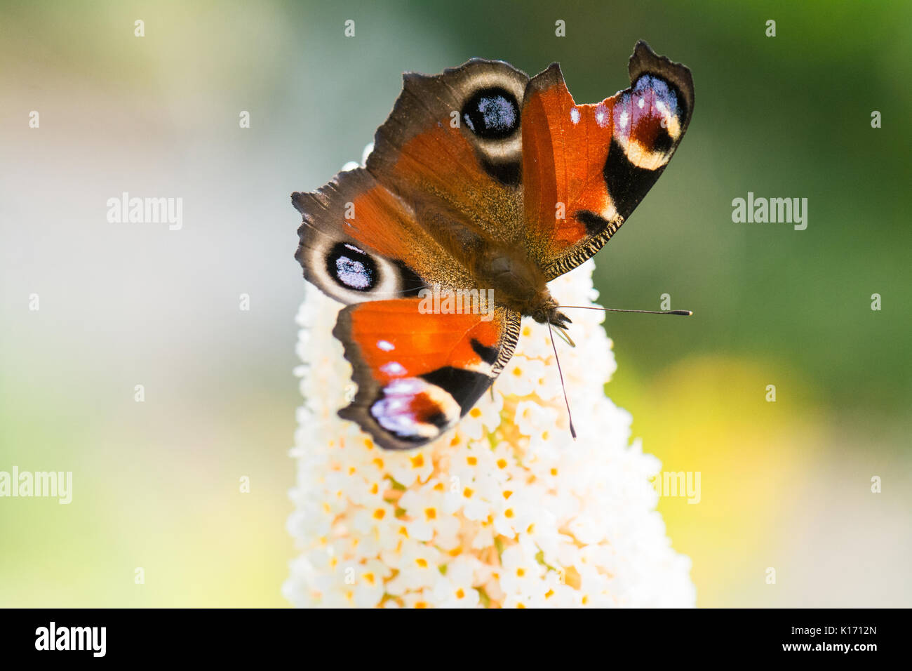 broken damaged butterfly wing - European Peacock butterfly - Stock Image