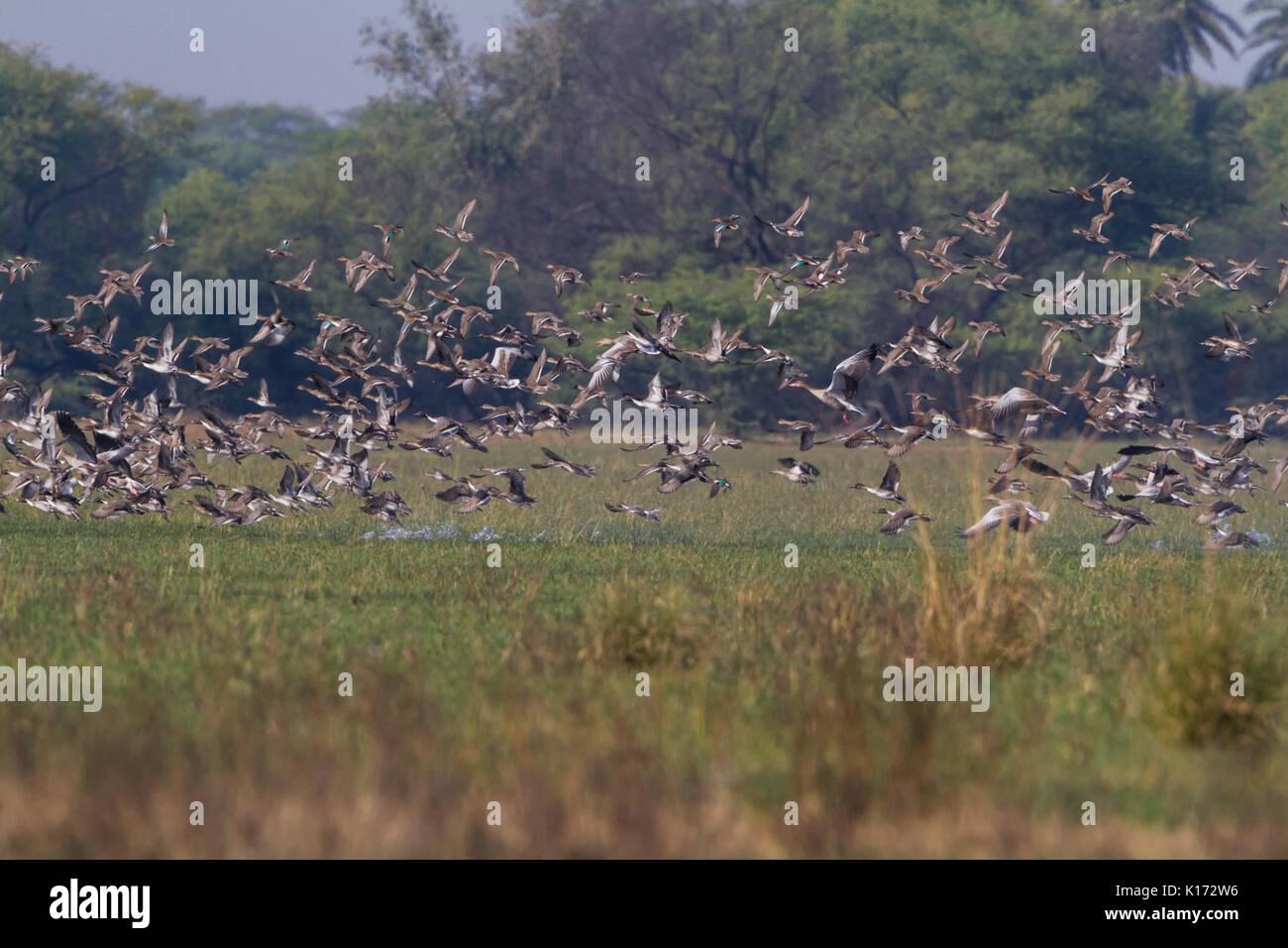 Flock of migratory Birds at Bharatpur Bird Sanctuary in Rajasthan, India. - Stock Image
