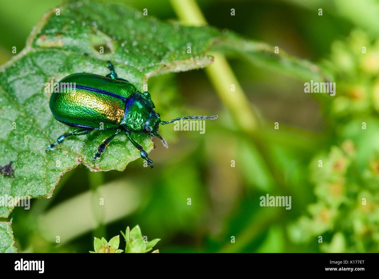 Oreina cacaliae(?) - Stock Image
