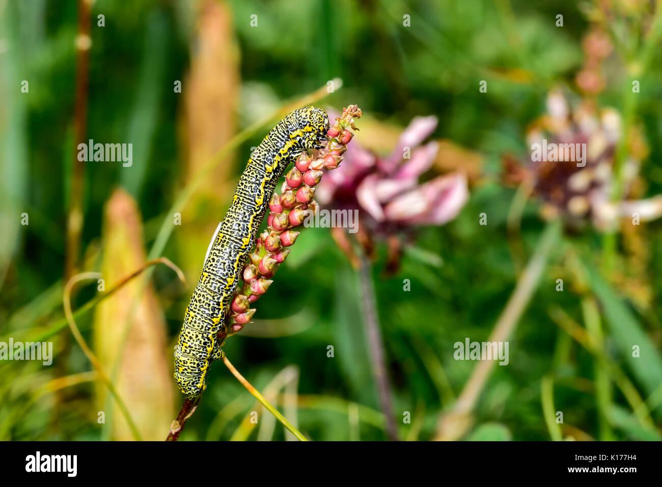 Lycia alpina - Stock Image