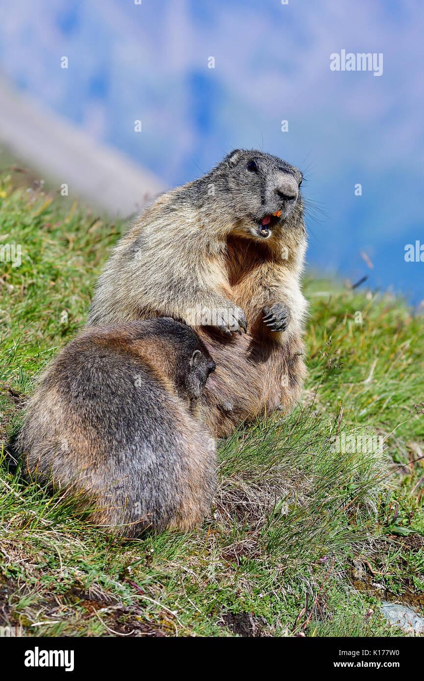 Alpine marmot alerting - Stock Image