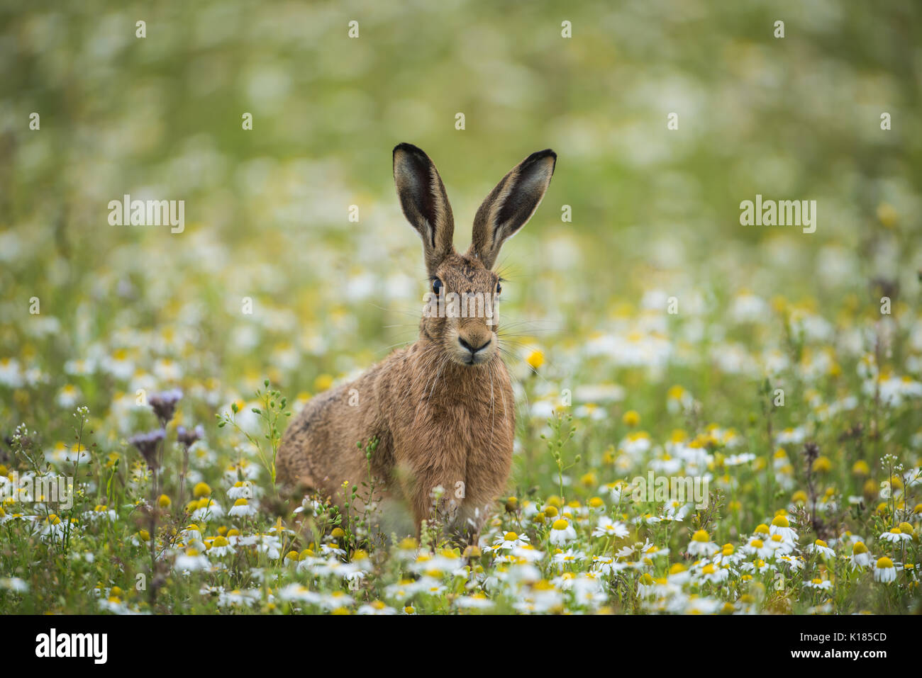Hare in a wild meadow in Norfolk Stock Photo