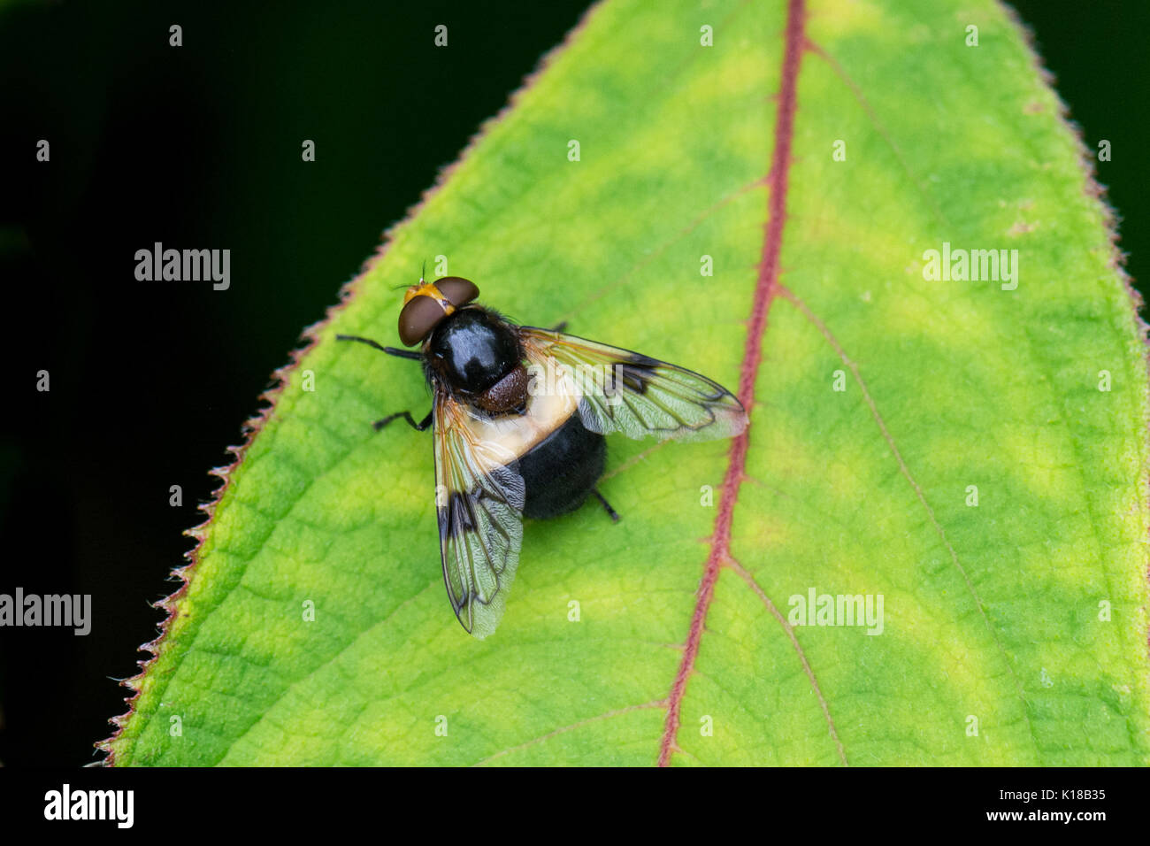 pellucid hoverfly also known as Large Pied-hoverfly  - volucella pellucens - female - Stock Image