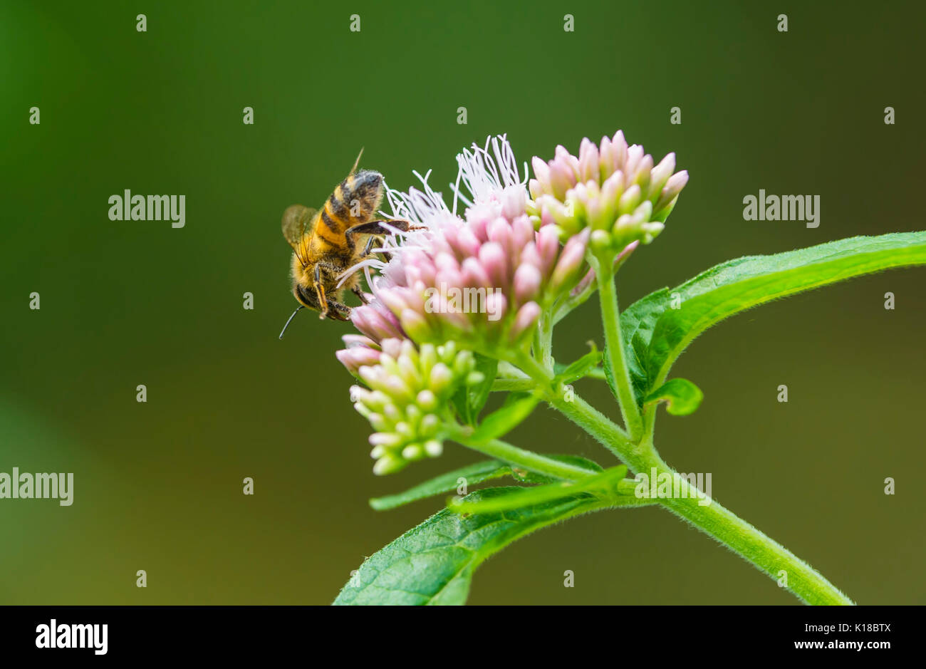 Honey bee on a Eupatorium cannabinum plant, also known as Hemp agrimony or Holy rope, in late Summer in West Sussex, England, UK. - Stock Image