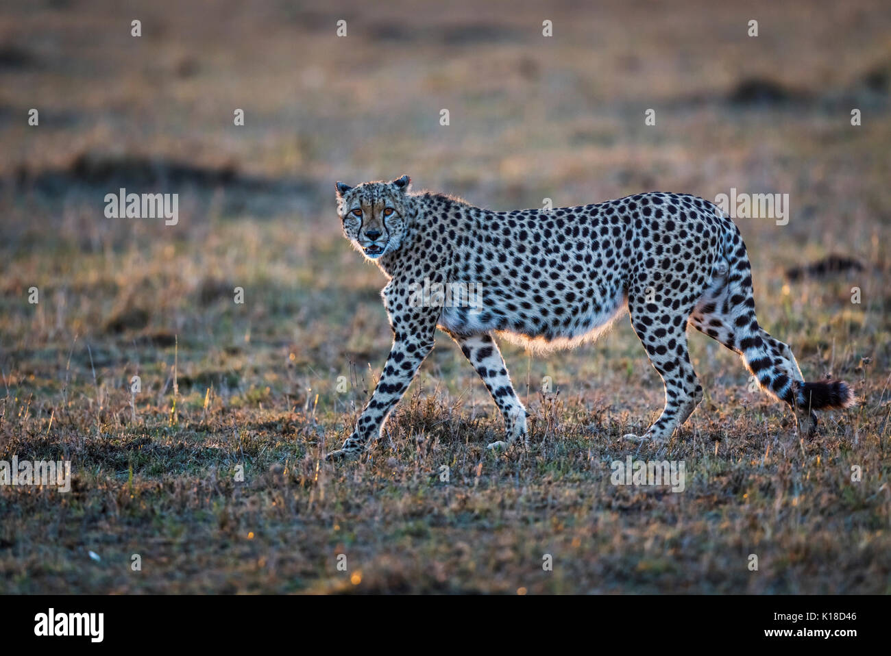 Backlit adult cheetah (Acinonyx jubatus) with characteristic spotted coat walking in early morning light across the savannah of Masai Mara, Kenya - Stock Image