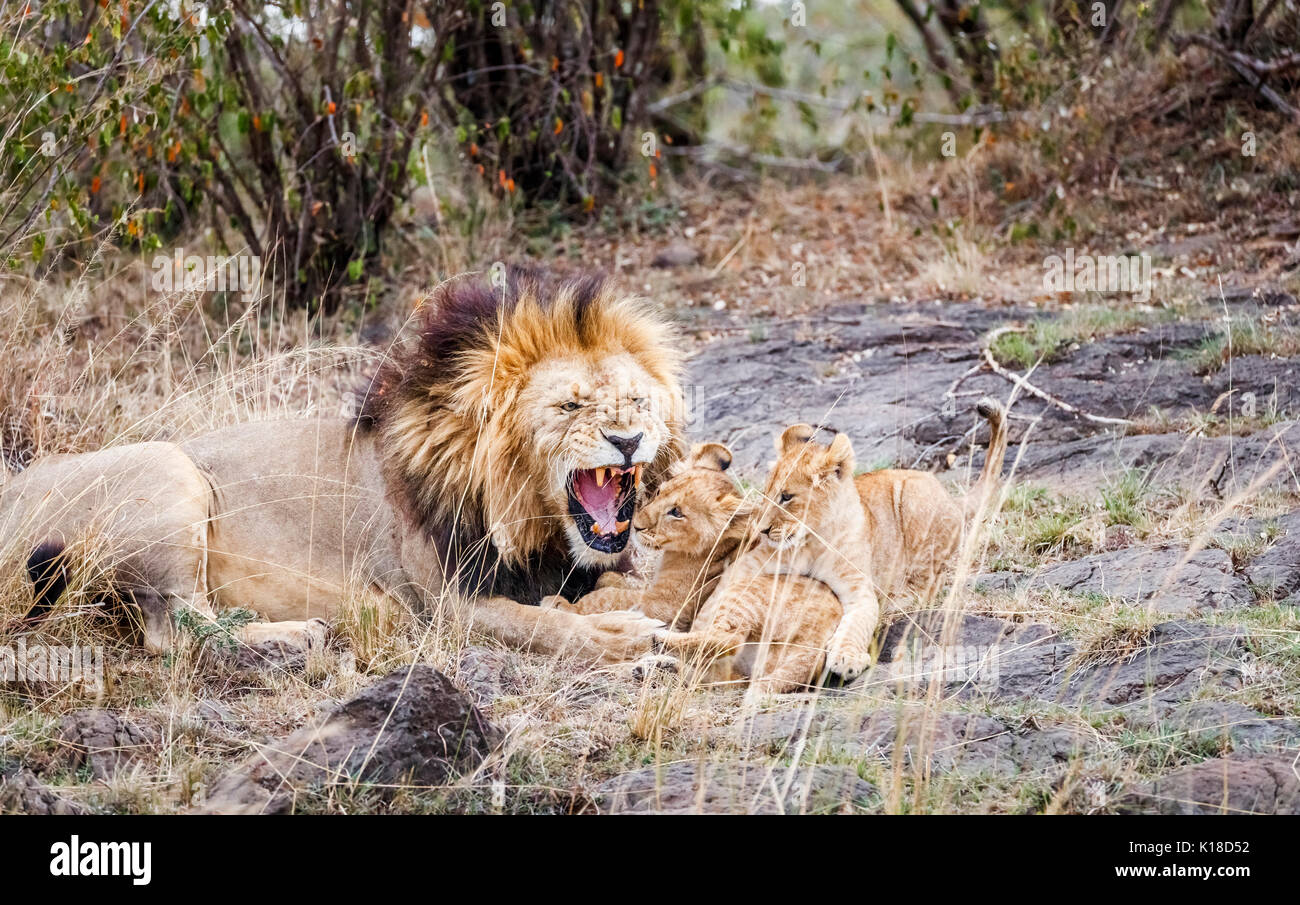 Male Mara lion (Panthera leo) playfully growls as he plays and interacts with his family of cute young lion cubs, Masai Mara, Kenya - Stock Image