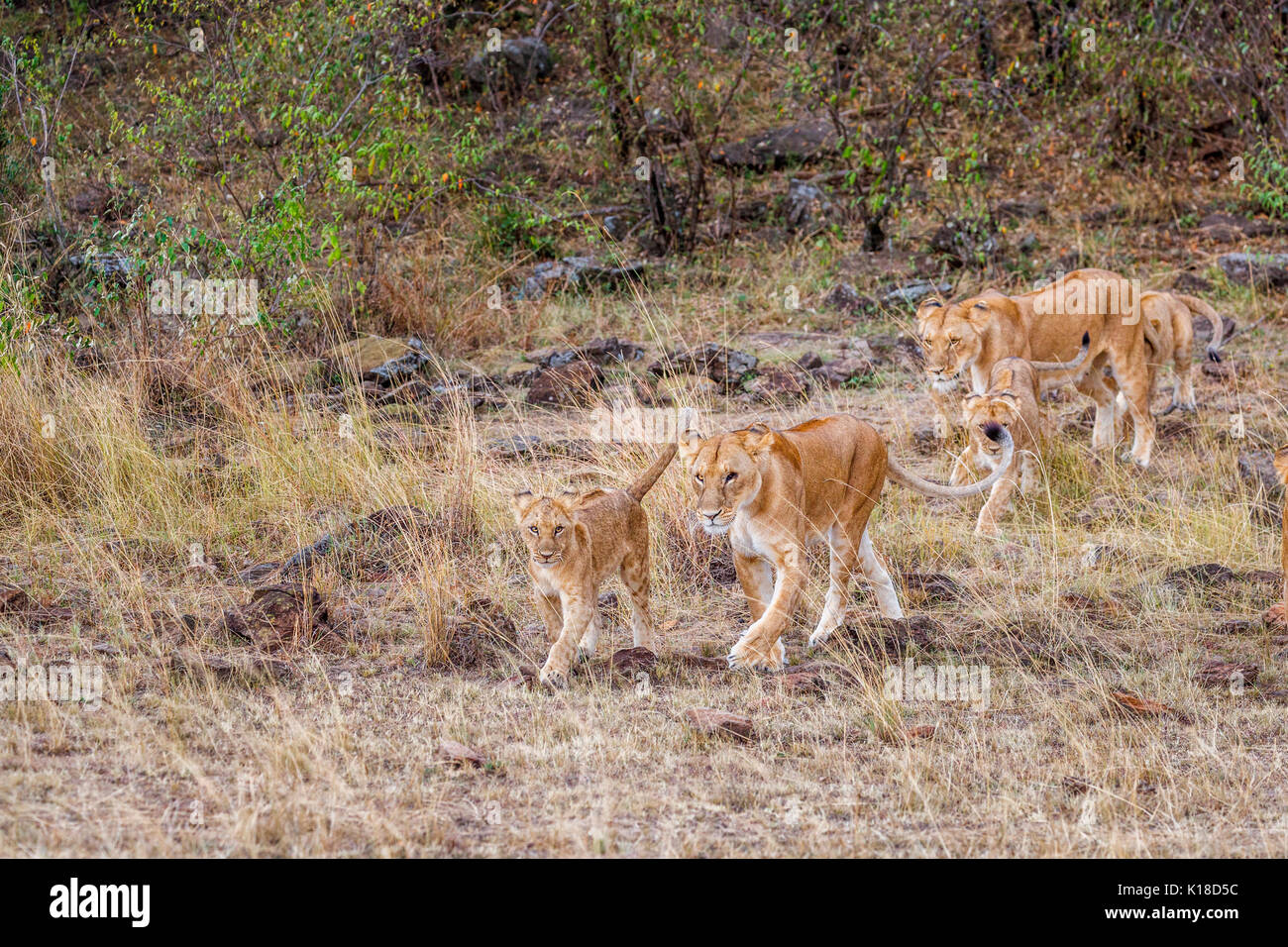 Family of Mara lions (Panthera leo|), two female lionesses and four cubs walking in the savannah of the Masai Mara, Kenya - Stock Image