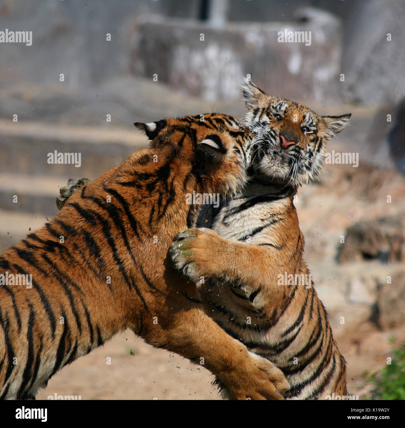 Closeup portrait of two Indo-Chinese Tigers, playing in the lake in the Buddhist Tiger Temple, Kanchanaburi, Thailand - Stock Image