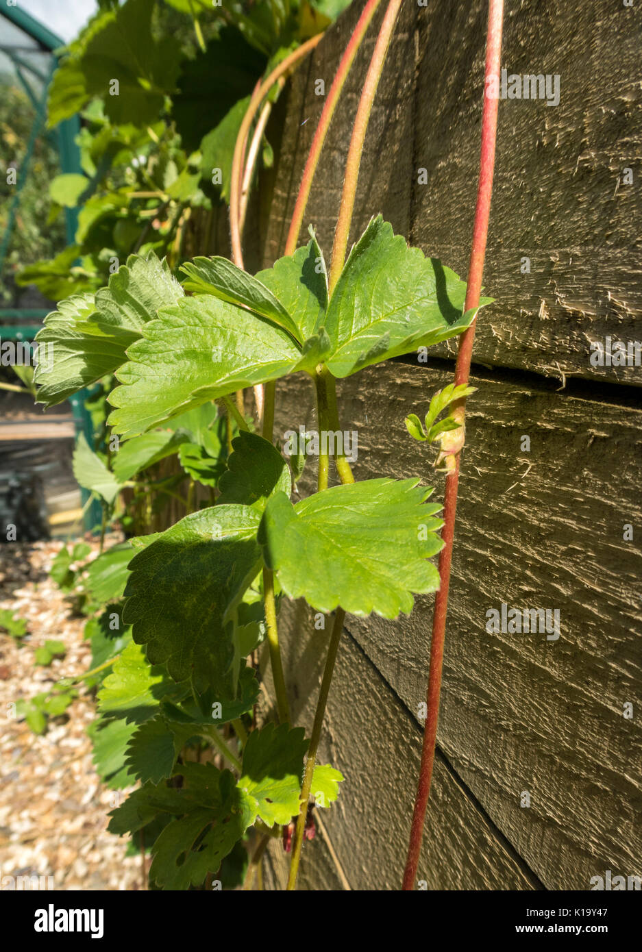 Strawberry 'Cambridge Favourite' throwing out runners which trail down a garden wall. - Stock Image