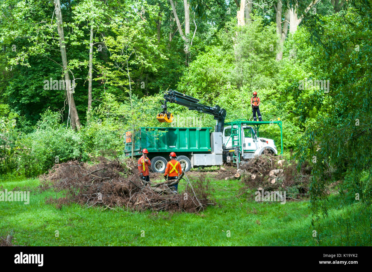 Three workers load a truck with sections of a large tree which fell during a storm, Ontario, Canada - Stock Image