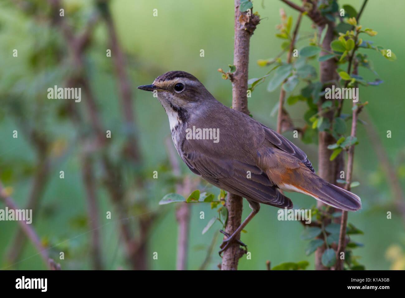 The bluethroat (Luscinia svecica) at Bharatpur bird sanctuary in Rajasthan - Stock Image