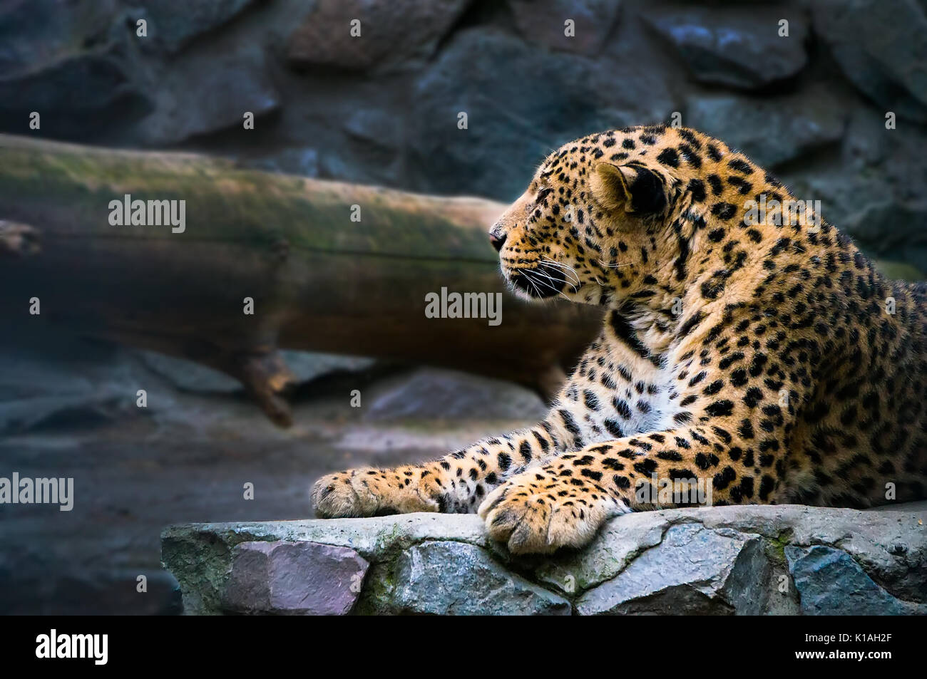 The Amur leopard sits in a cage. Portrait of a beautiful leopard. The far Eastern leopard registered in the red book. - Stock Image