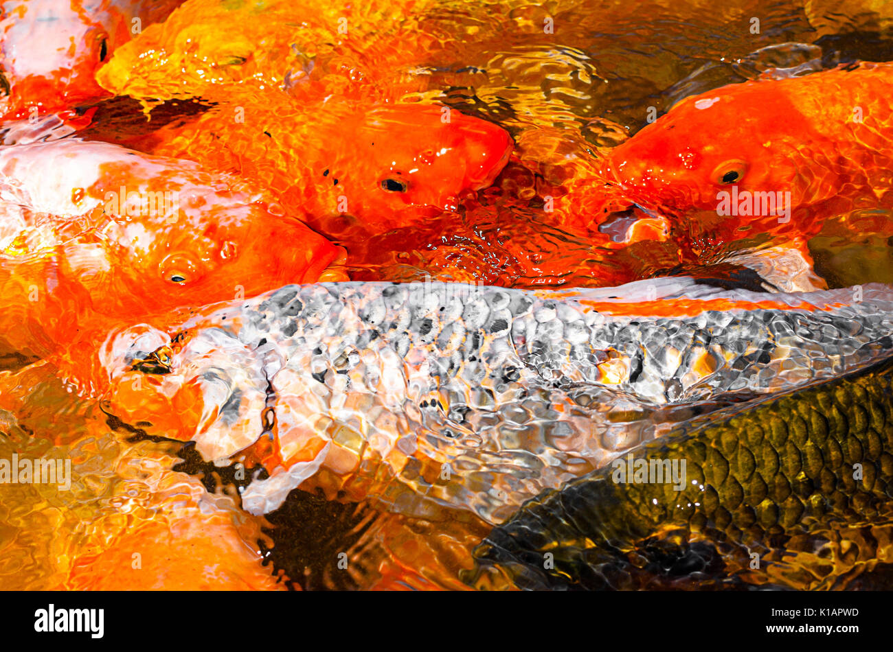 Ornamental Fish Stock Photos & Ornamental Fish Stock Images - Alamy