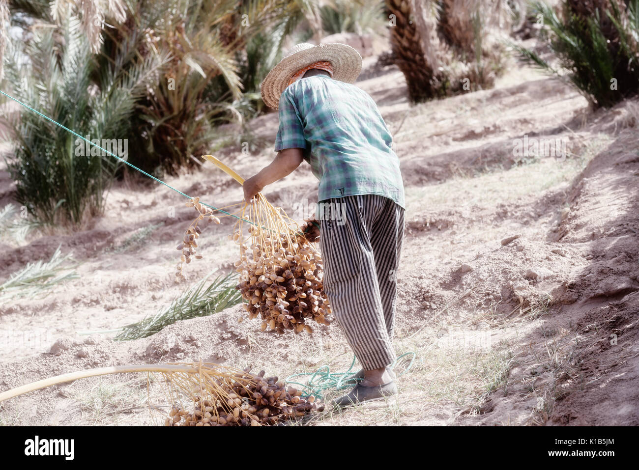 A Moroccan farmer harvests dates from a date palm. High key image with muted colors. - Stock Image