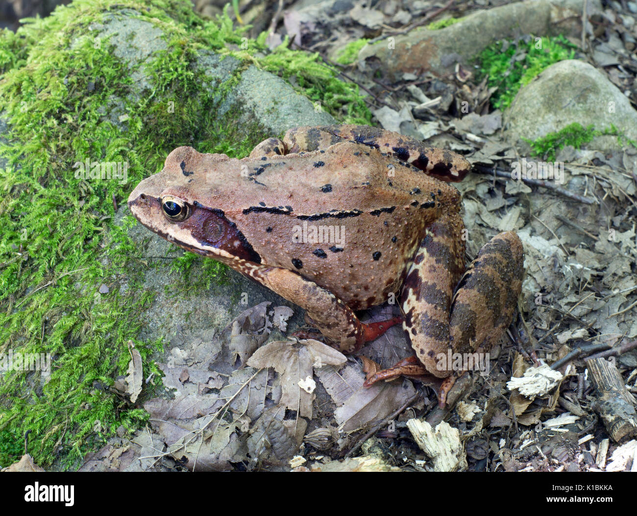 Close up of brown tree frog - Stock Image