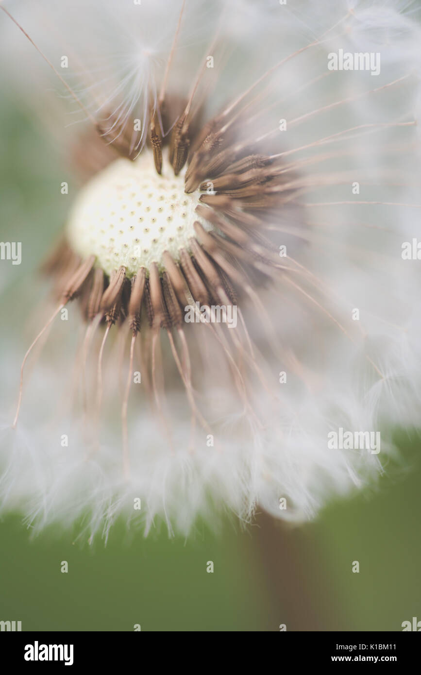 close up macro photograph of a dandelion in summer Stock Photo