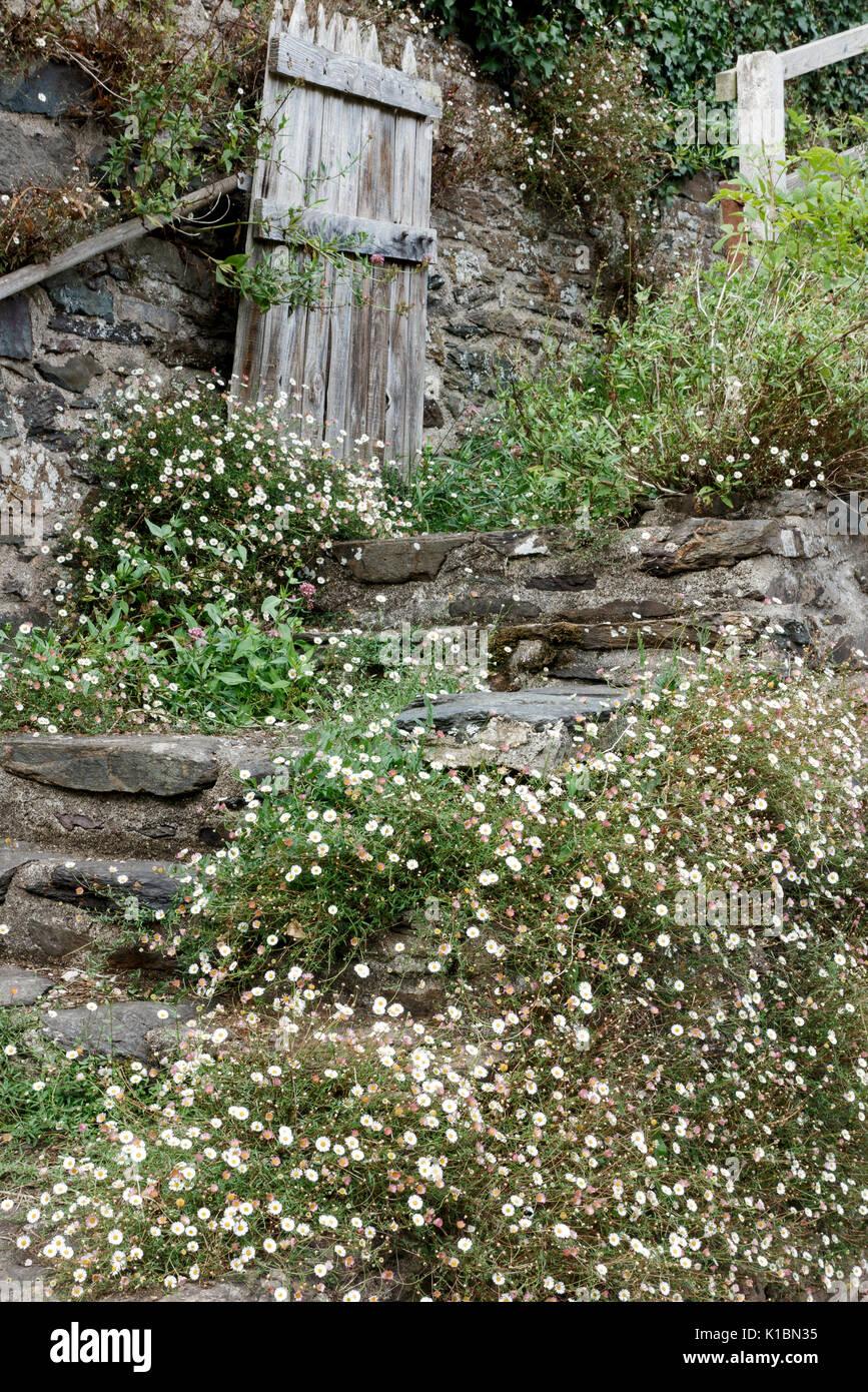 Erigeron karvisnkianus, Mexican Fleabane, growing over steps in garden - Stock Image