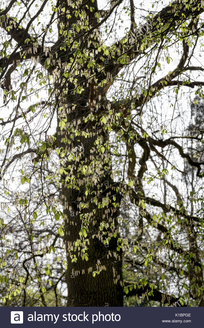 Carpinus betula 'Pendula', Weeping Hornbeam - Stock Image