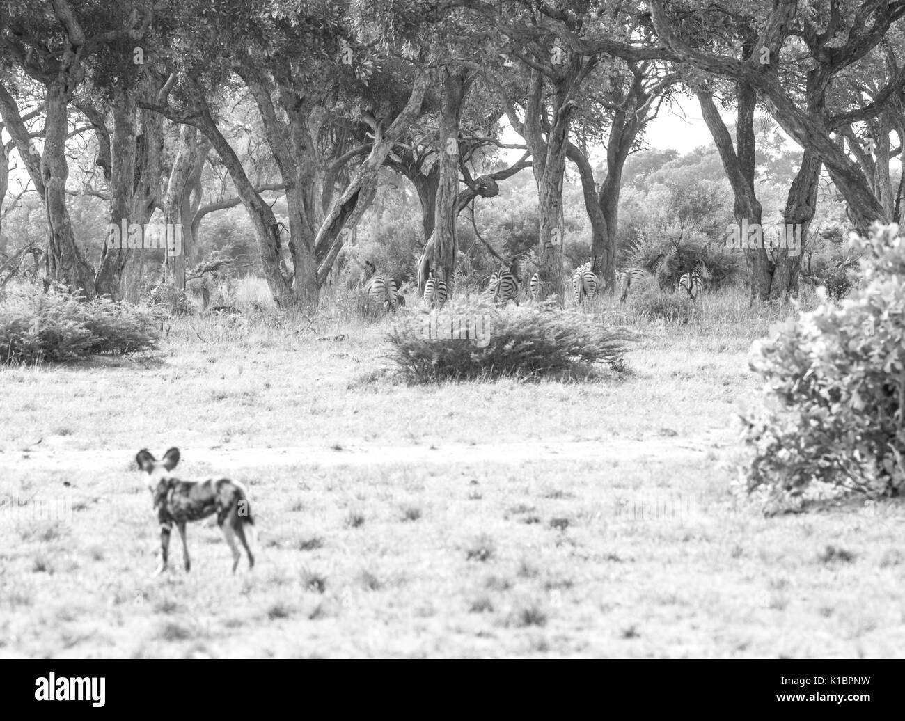 African Wild Dog (Lycaon pictus) - Stock Image