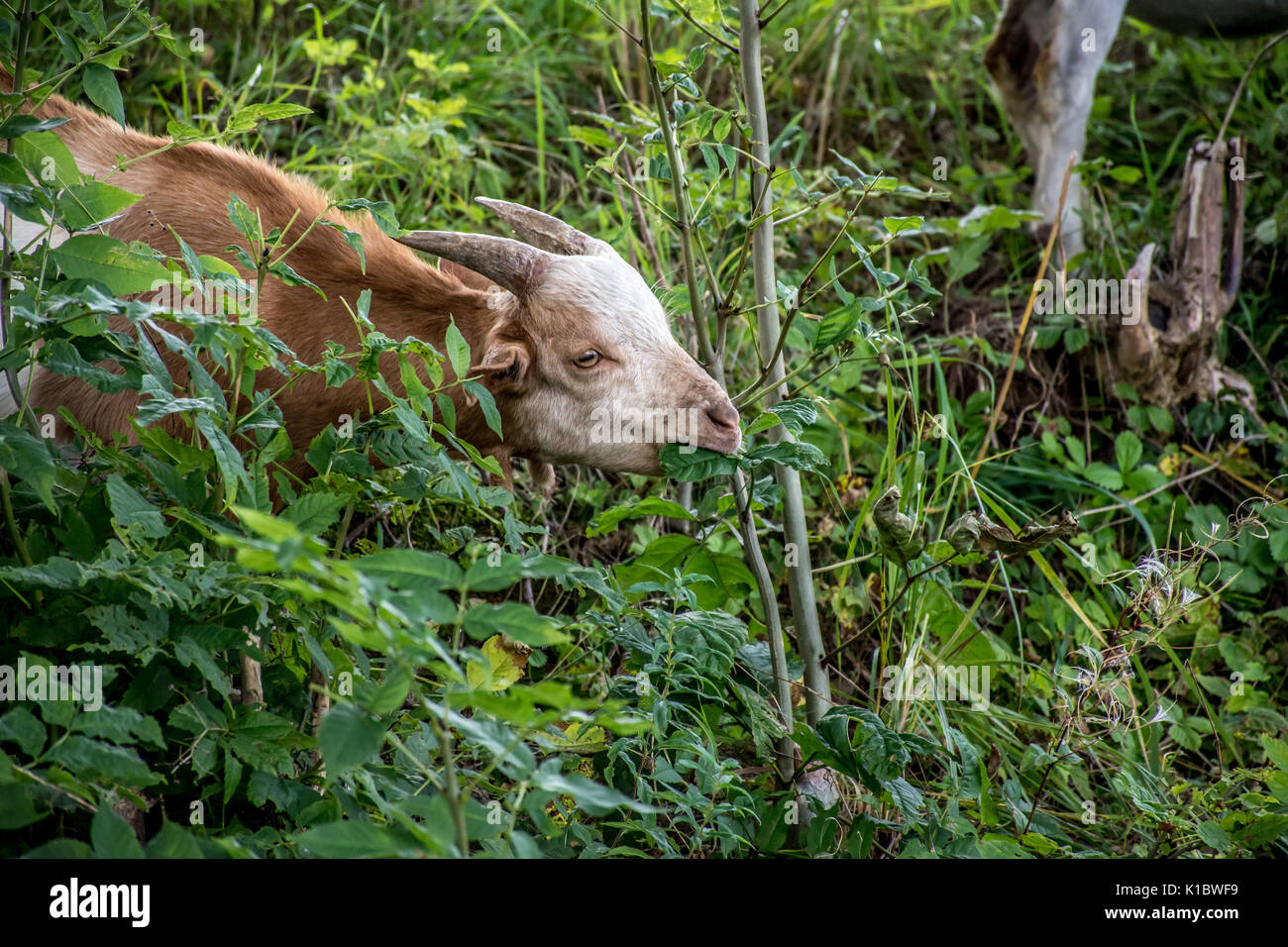 Billy Goat in Waldeck Germany - Stock Image