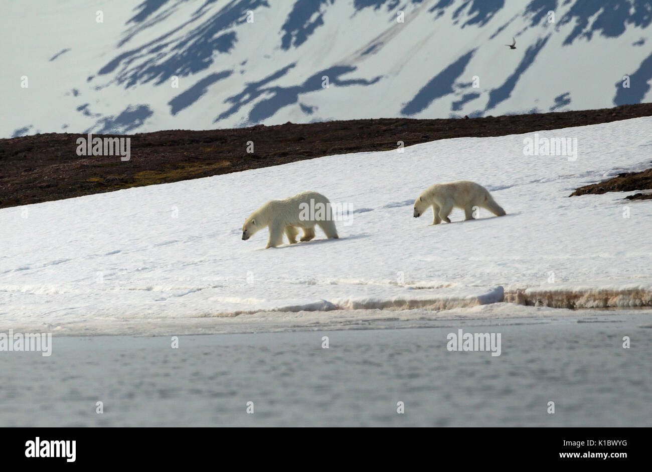 Polar Bears, Ursus maritimus, hungry adult female and cub searching for food near shoreline. Taken in June, Spitsbergen, Svalbard, Norway - Stock Image