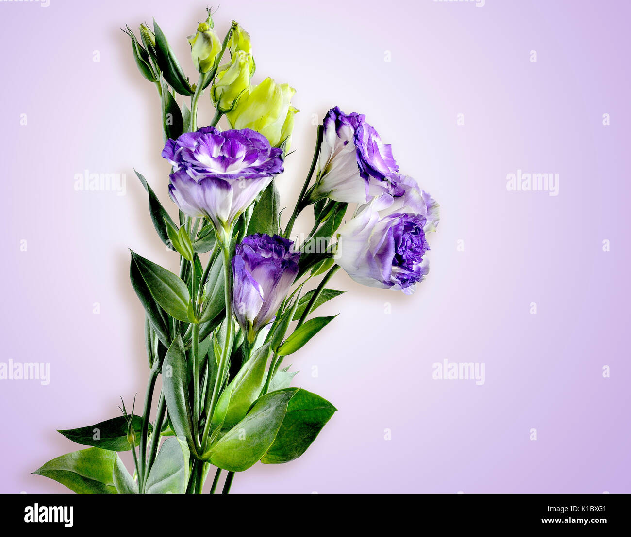 Lisianthus flowers floral blooms stock photos lisianthus flowers bouquet of purple with white eustoma lisianthus flowers on a tender lilac background altavistaventures Choice Image
