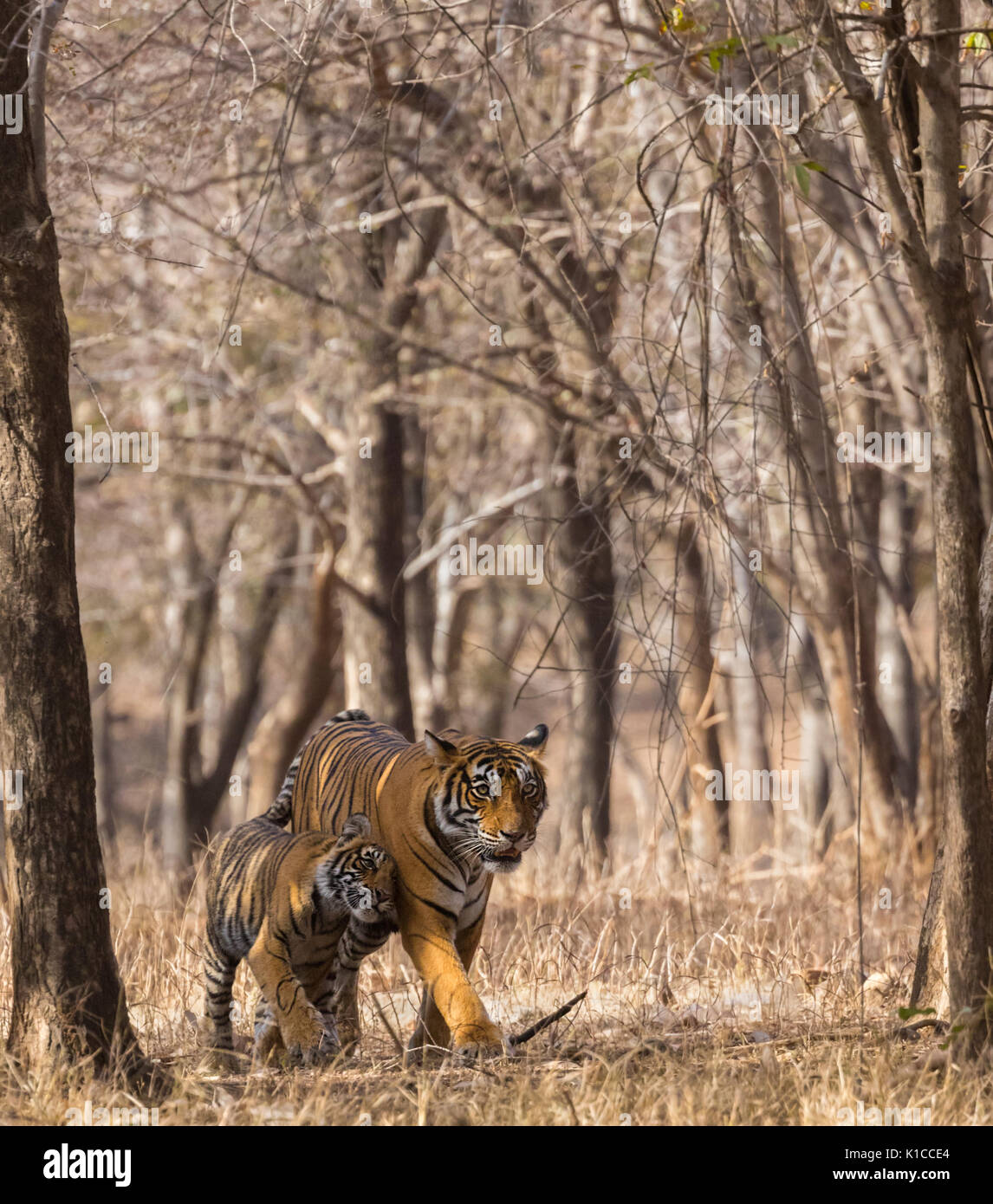 Tiger cub cuddling mother tigress in a beautiful vertical frame formed by dry treeline - Stock Image