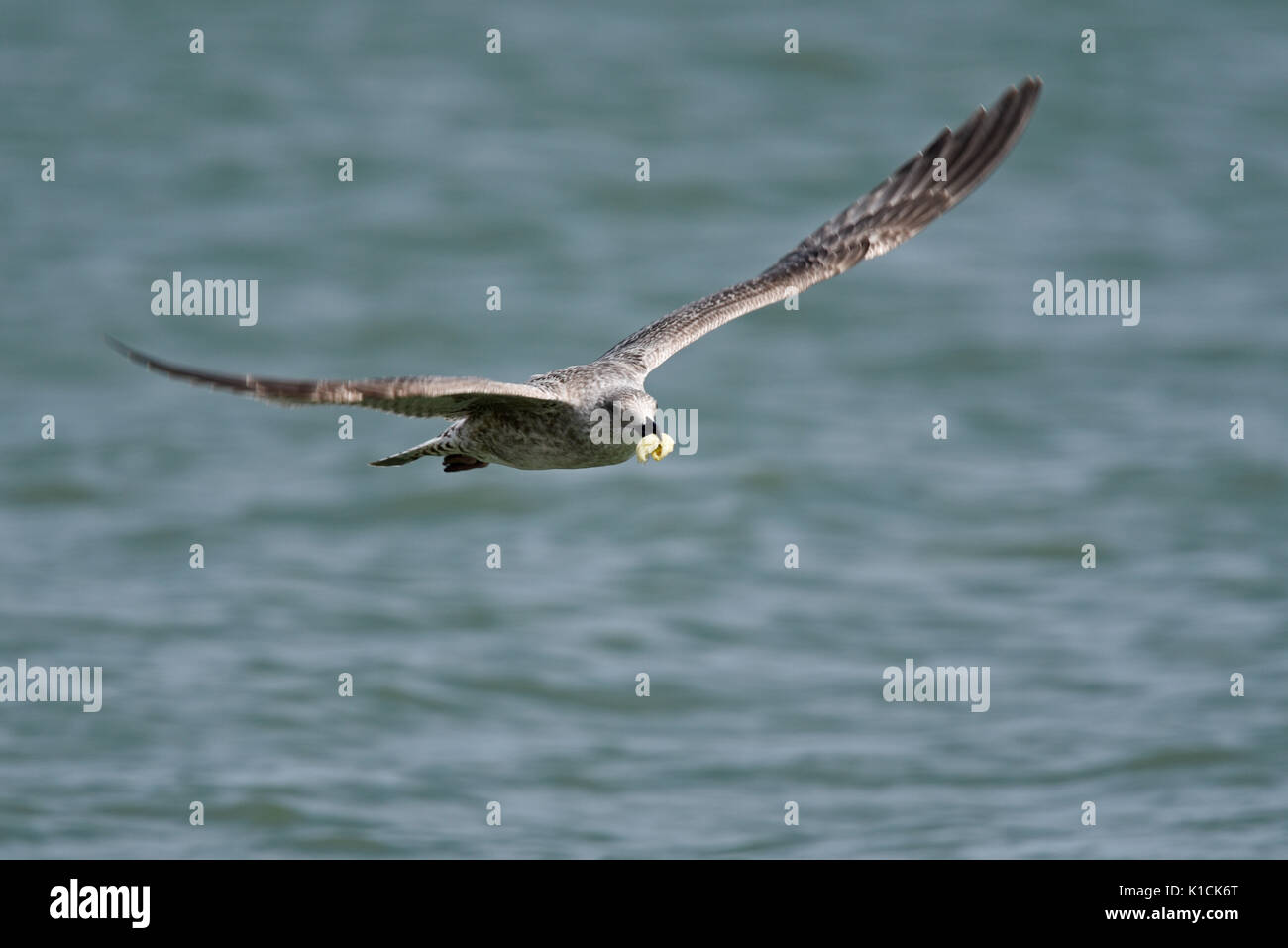 Juvenile Herring Gull Larus argentatus flying low over the sea carrying a catch of food in its beak. Gull Laridae family. Space for copy - Stock Image