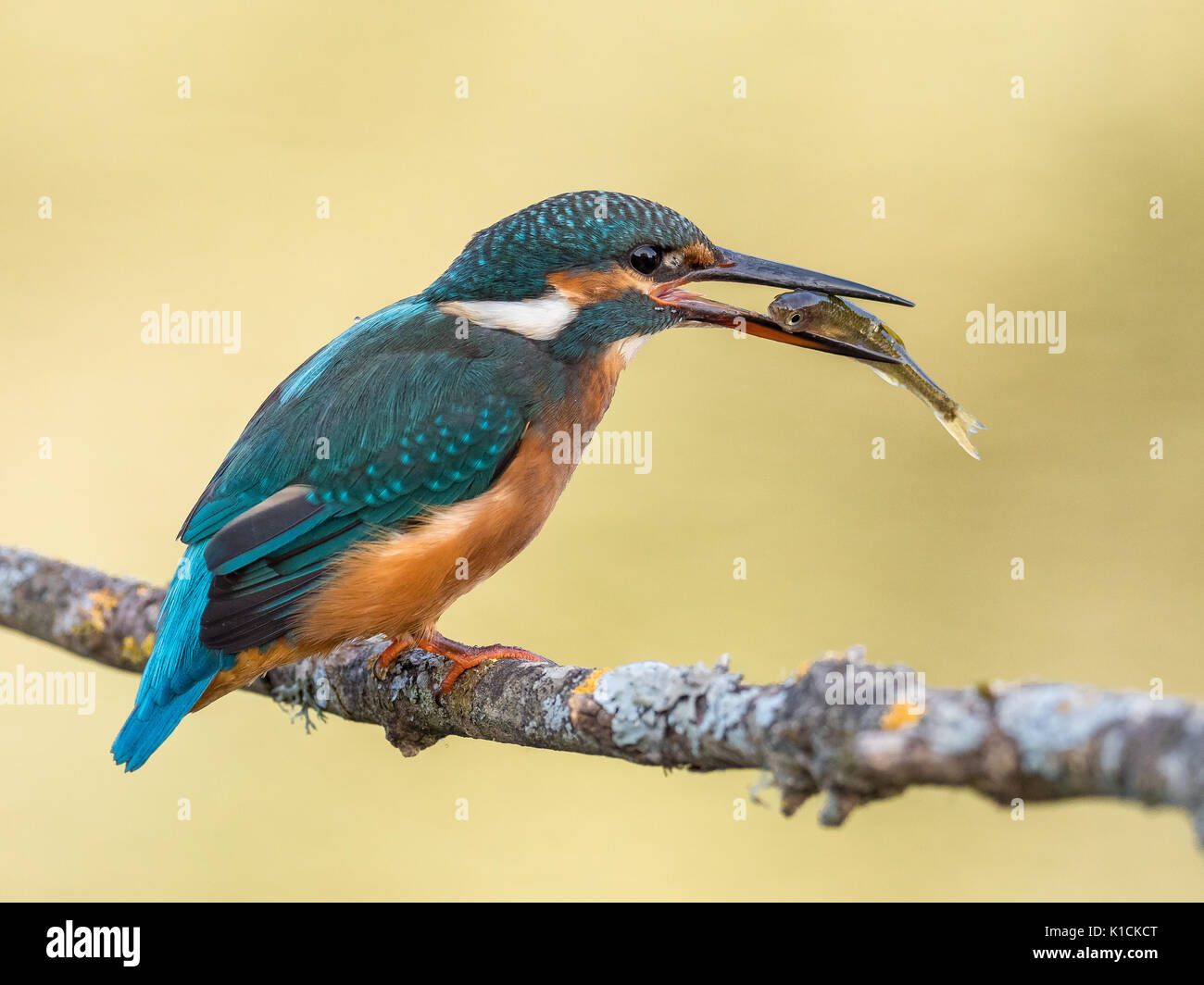 Female of kingfisher bird (Alcedo atthis) eating a fish - Stock Image