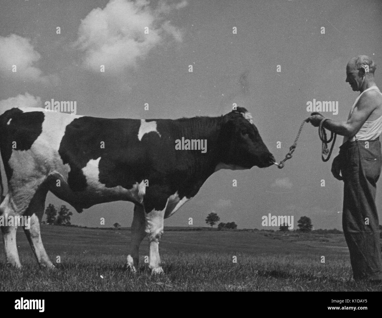 Mature man wearing undershirt and holding a rope attached to the nose of an inbred bull on a farm in Beltsville, Maryland, 1935. From the New York Public Library. - Stock Image