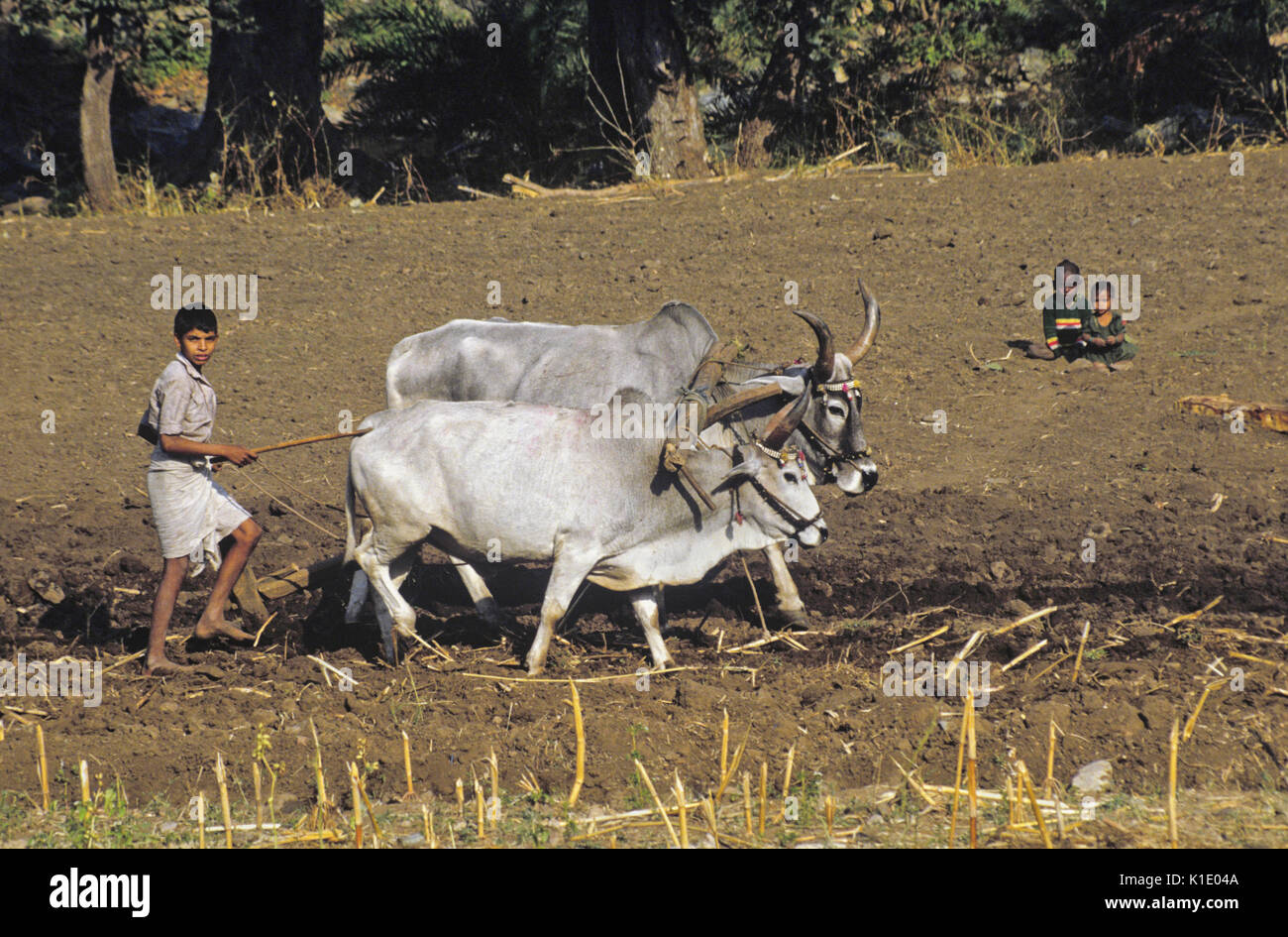 Boy plowing field with bullocks and wood plow, Rajasthan, India - Stock Image
