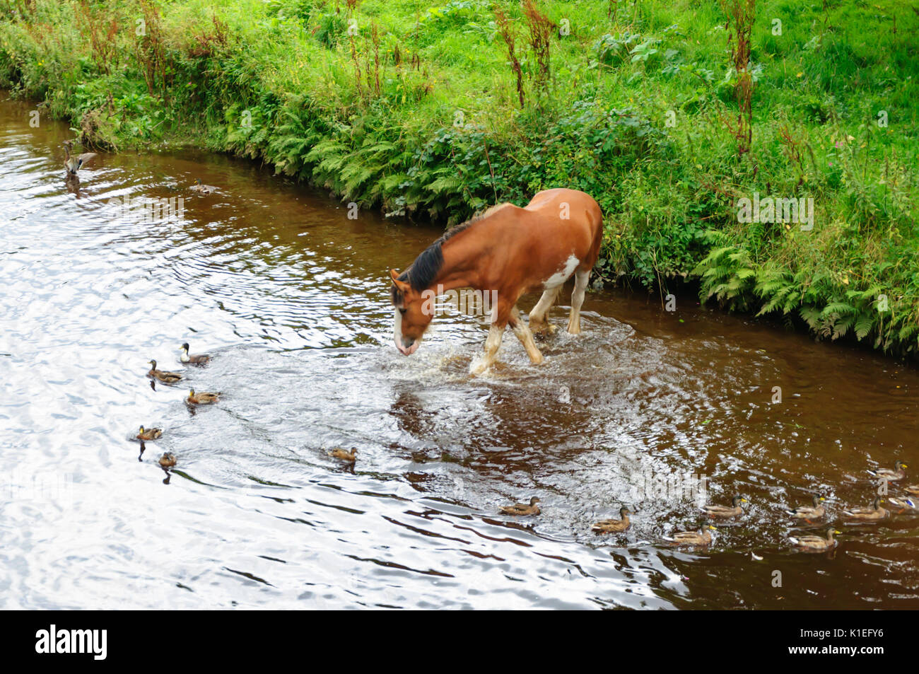 Glasgow, Scotland, UK. 27th August, 2017. UK Weather: Clydesdale horse taking a paddle alongside the ducks in the White Cart Water in the grounds of Pollok Country Park on an afternoon of sunny spells. Credit: Skully/Alamy Live News - Stock Image