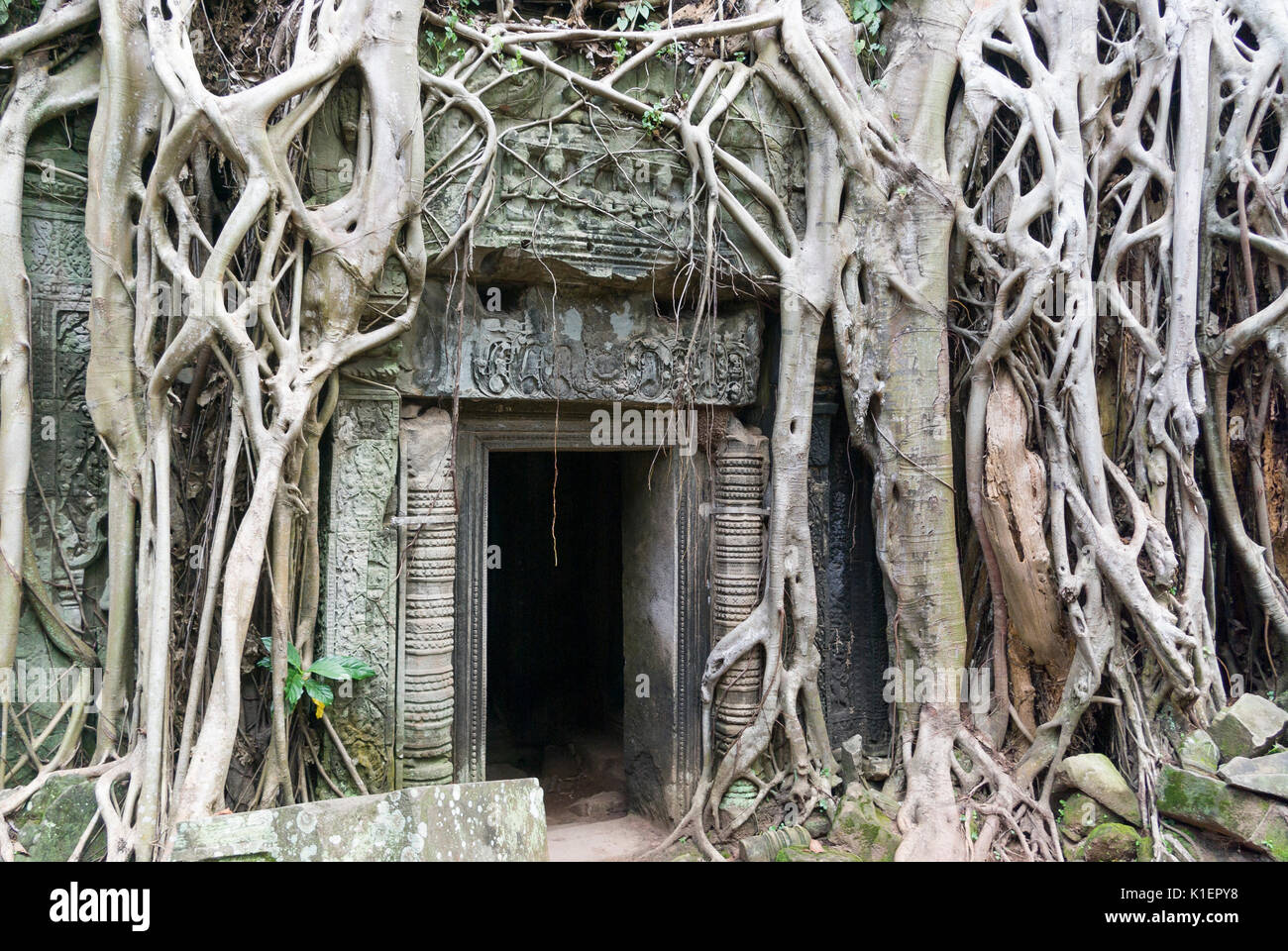 Angkor Wat Ta Prohm Temple door with fig tree roots, Cambodia, Southeast Asia - Stock Image
