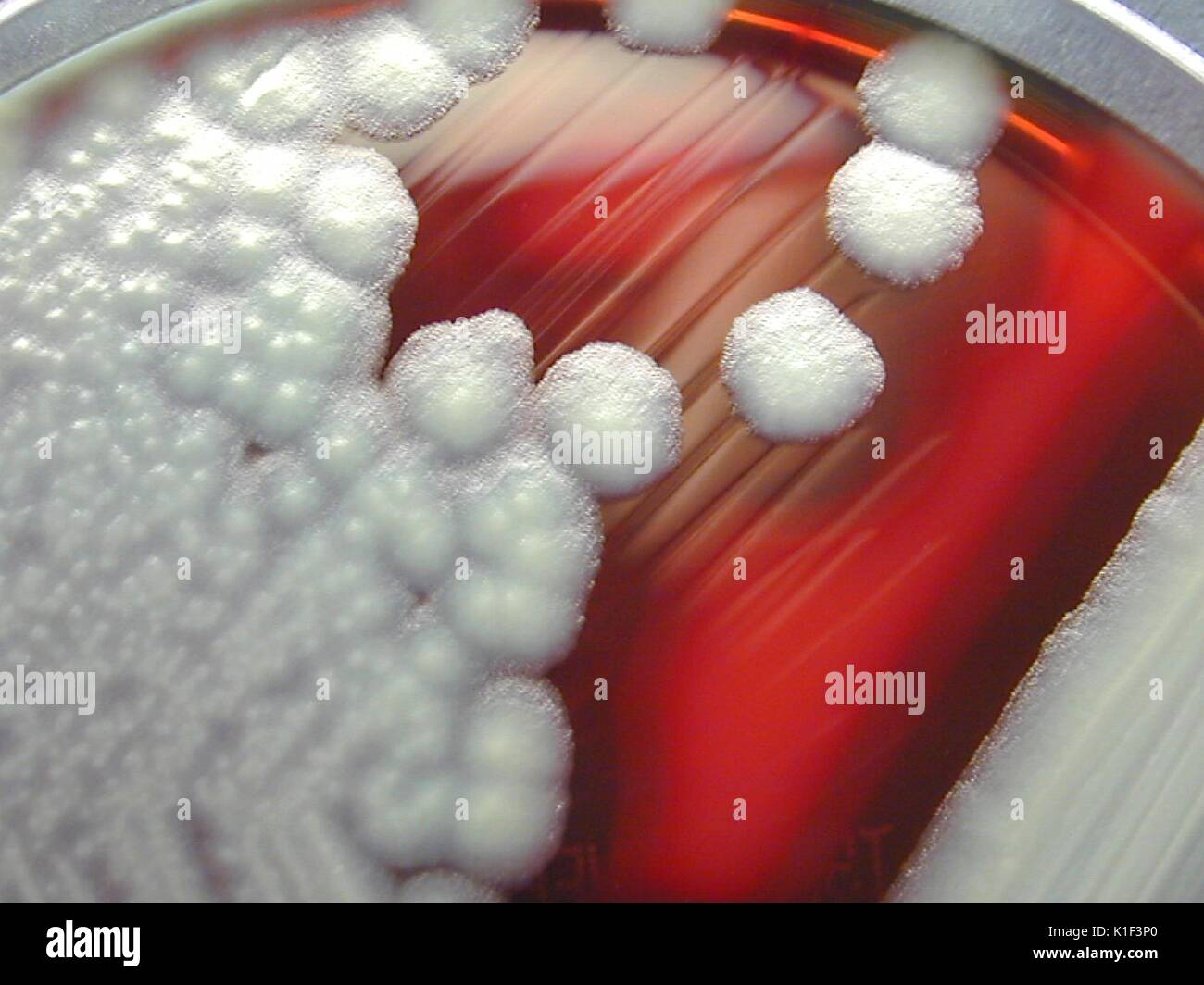 Bacillus cereus showing hemolysis on sheep blood agar. B. cereus is a Gram-positive beta hemolytic bacteria, which may live in an environment with or without the presence of oxygen, i.e. facultative aerobe. Image courtesy CDC/Courtesy of Larry Stauffer, Oregon State Public Health Laboratory, 2002. - Stock Image