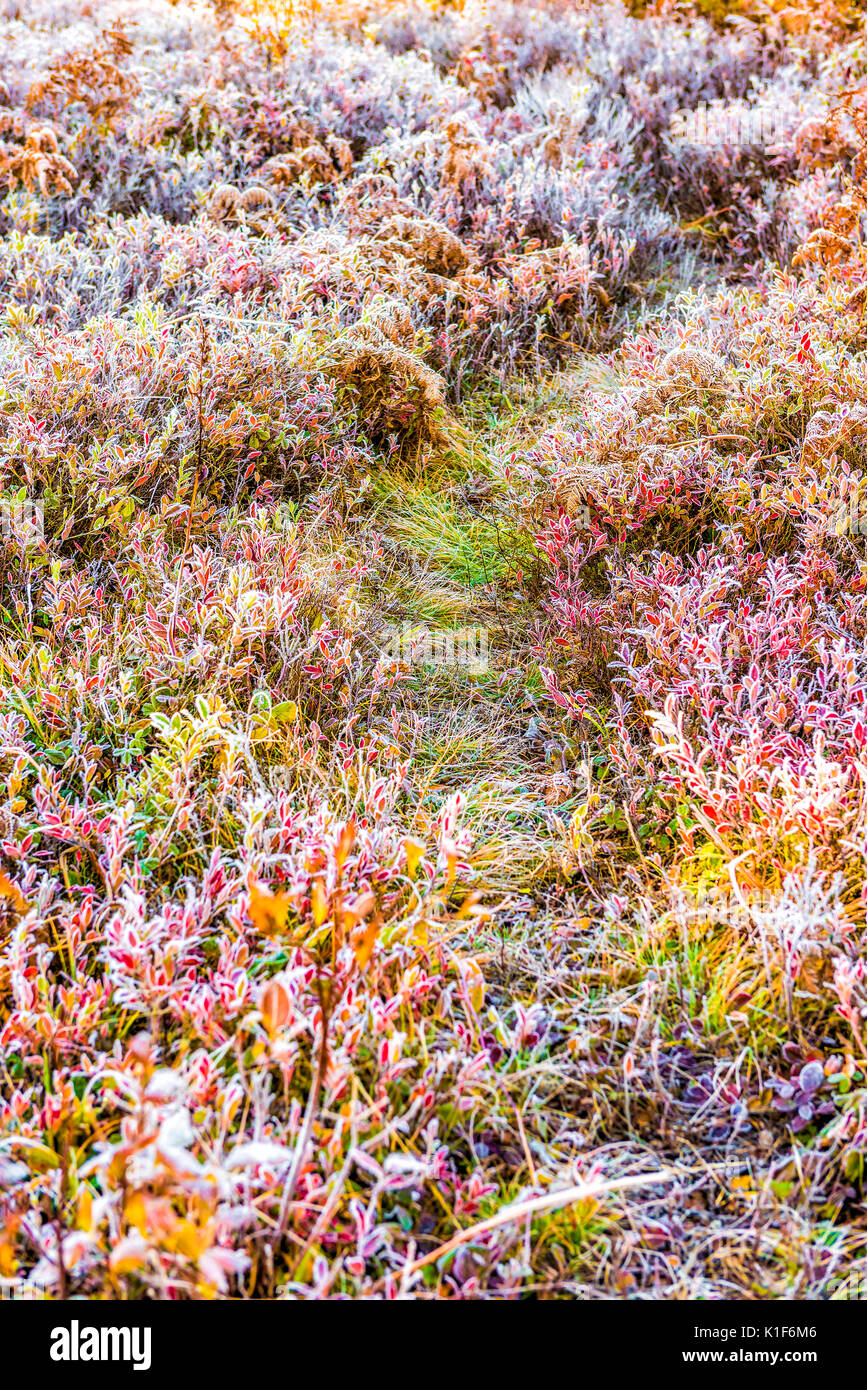 Frost iced trail path of blueberry bushes illuminated by morning sunlight at Dolly Sods, West Virginia - Stock Image