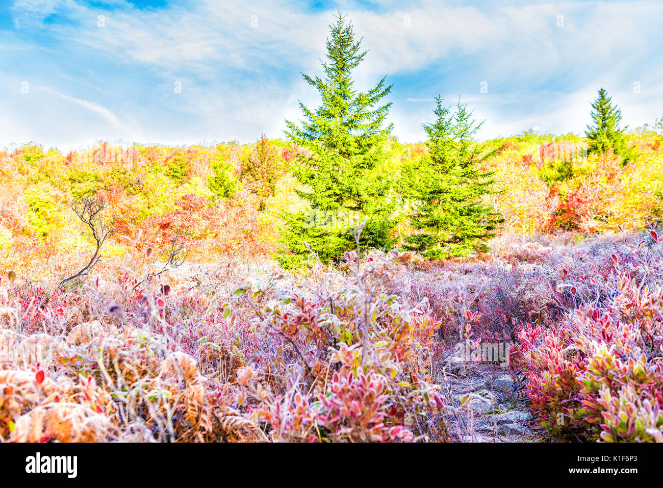 Frost iced trail path of blueberry bushes illuminated by morning sunlight at Dolly Sods, West Virginia with forest - Stock Image
