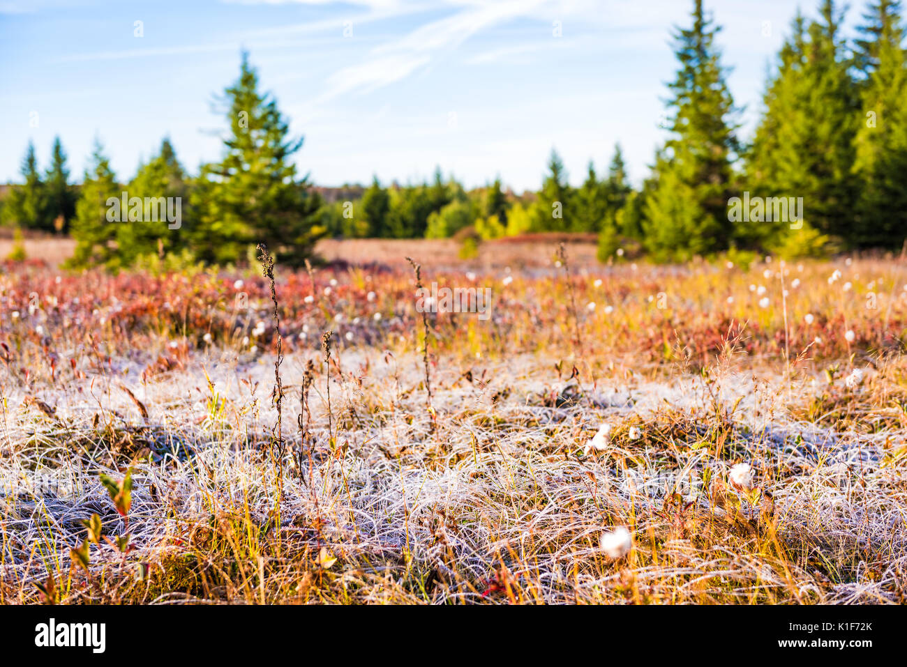 Icy frost on dry tall grass meadow illuminated by morning sunlight at Dolly Sods, West Virginia - Stock Image