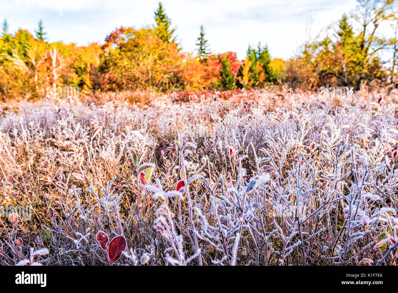 Frost iced trail of red blueberry bushes illuminated by morning sunlight at Dolly Sods, West Virginia with forest - Stock Image